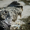 Crocodylus palustris