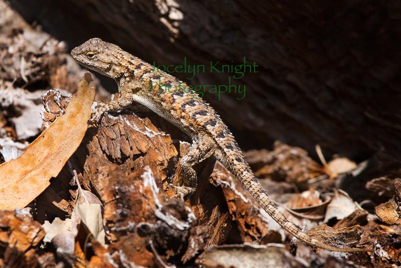 Lizard5758