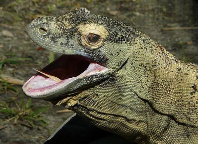 Komodo dragon. Lowry Park Zoo, Tampa, Florida