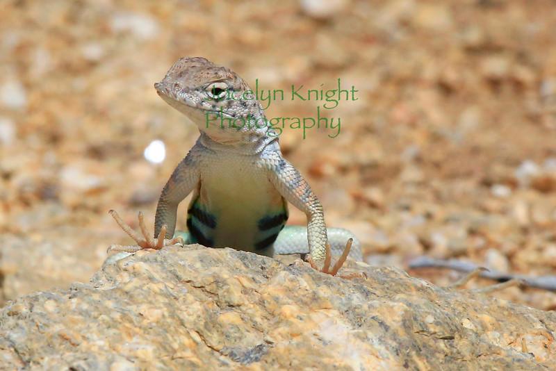 Lizard3593 - Greater Earless Lizard - Cophosaurus texanus