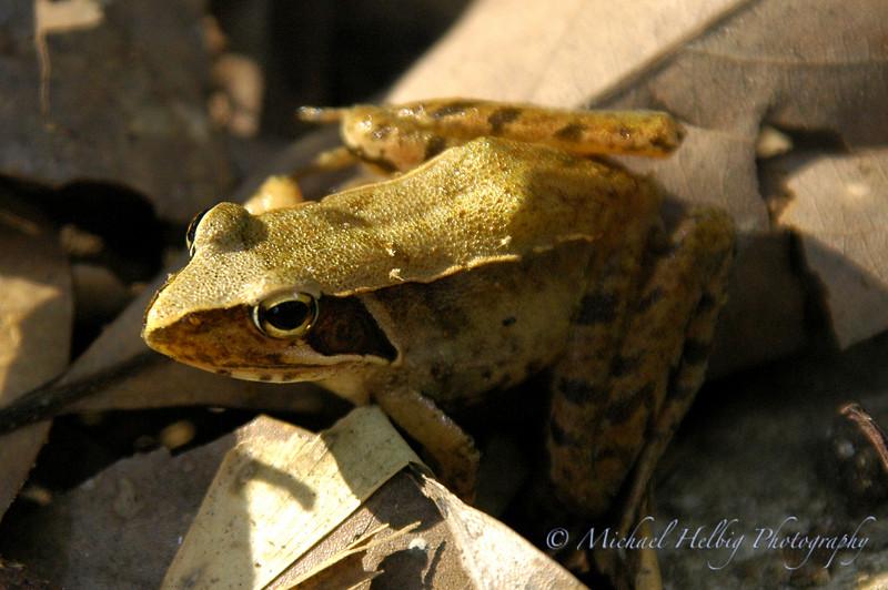 Frog - Hiroshima