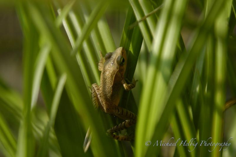 Tiny Frog - Hiroshima