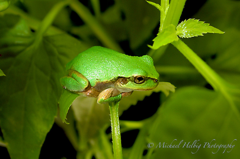 Amagaeru - This little frog was the size of my thumb.