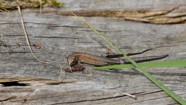 """Common lizard during a """"reptile ramble"""" at Parc Slip."""