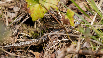 Adder and a shed skin