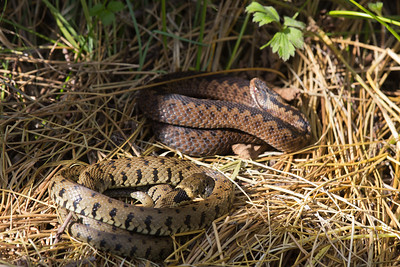 """Grass snake and adder during a """"reptile ramble"""" at Parc Slip."""