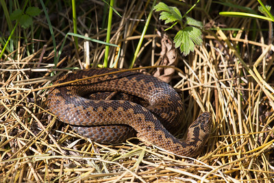 """Adder during a """"reptile ramble"""" at Parc Slip."""