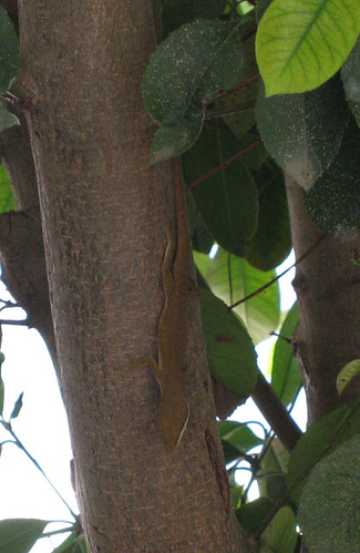 Green anole sans flash (144_4401)