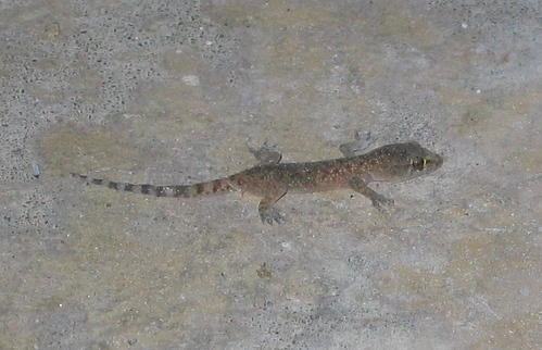 A Mediterranean gecko (Hemidactylus turcicus) on the patio (152_5278)
