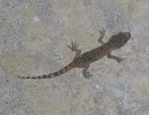 A Mediterranean gecko (Hemidactylus turcicus) on the patio (152_5281)