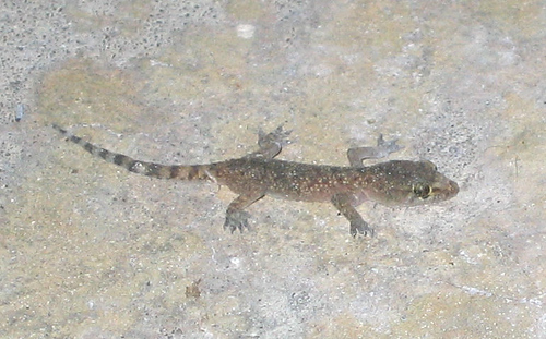 A Mediterranean gecko (Hemidactylus turcicus) on the patio (152_5290)