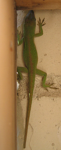 Female green anole (Anolis carolinensis) hiding from the wind while trying to grab a few stray rays of sunshine (160_6065)