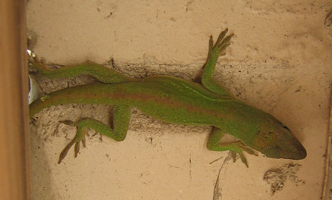 Female green anole (Anolis carolinensis) hiding from the wind in a small space between the fence post and wall (160_6072)