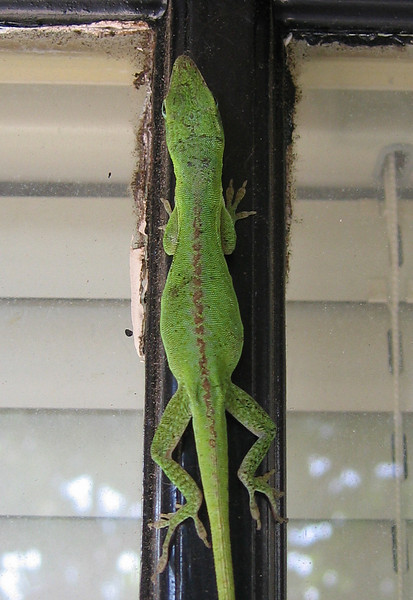 A female green anole (Anolis carolinensis) hanging on the patio door (197_9718)