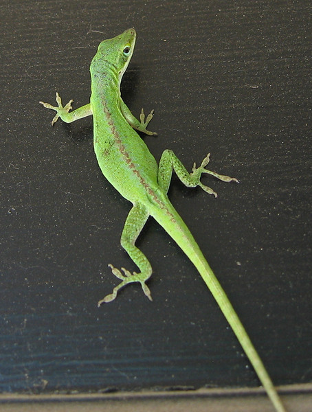 A female green anole (Anolis carolinensis) hanging on the patio door (197_9720)