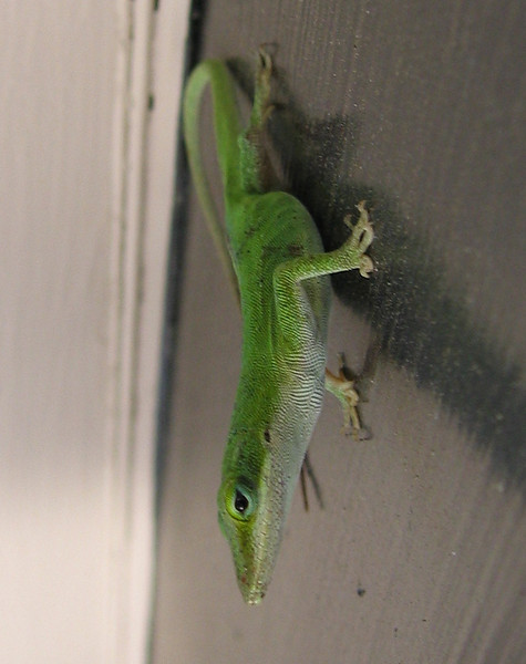 A female green anole (Anolis carolinensis) hanging on the patio door (197_9722)