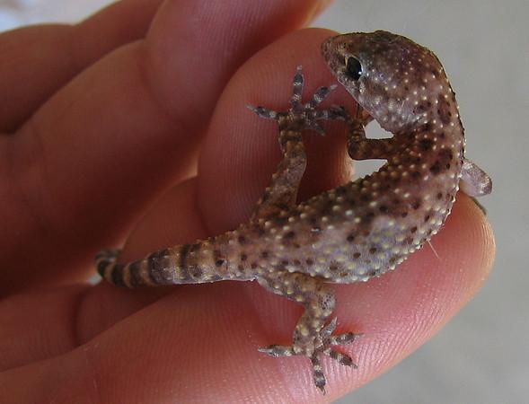A wounded Mediterranean gecko (a.k.a. house gecko; Hemidactylus turcicus) (197_9800)