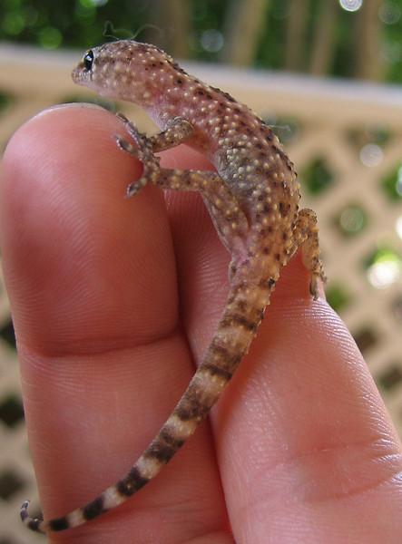 A wounded Mediterranean gecko (a.k.a. house gecko; Hemidactylus turcicus) (198_9802)