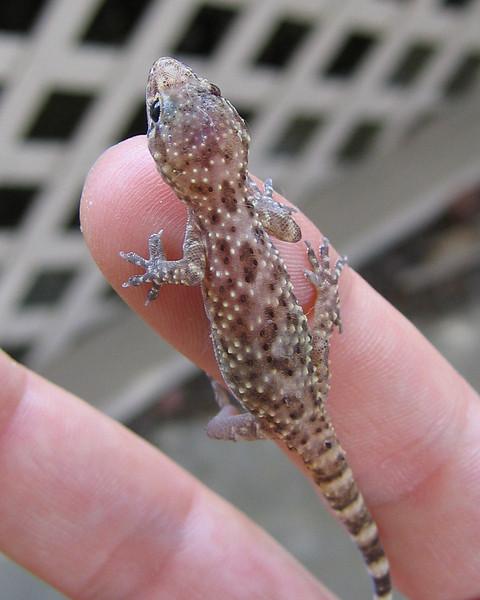 A wounded Mediterranean gecko (a.k.a. house gecko; Hemidactylus turcicus) (198_9807)
