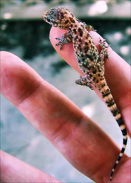 A Mediterranean gecko (a.k.a. house gecko; Hemidactylus turcicus) clinging to my finger (198_9811_hnd)