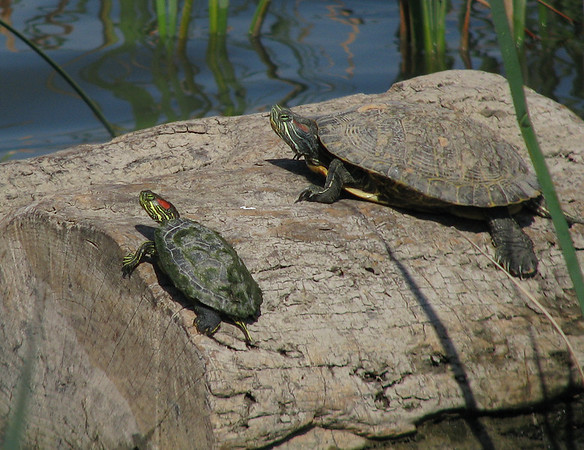 A pair of red-eared sliders (Trachemys scripta elegans) sunning on a log, both of them watching me closely (20080405_02963)
