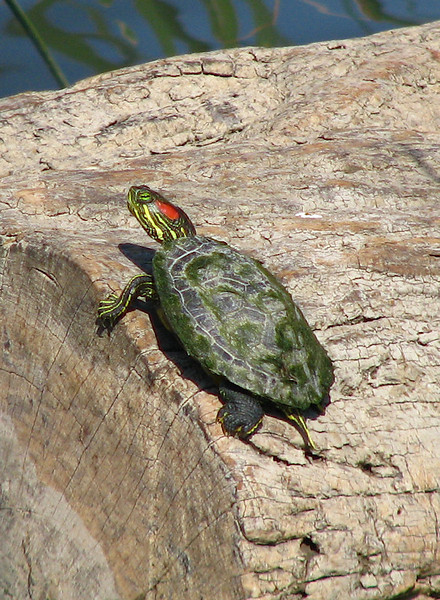 A small red-eared slider (Trachemys scripta elegans) watching me as it sunbathes on a log (20080405_02968)