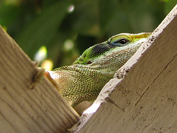 A female green anole (Anolis carolinensis) peeking at me through the patio fence (20080412_03220)