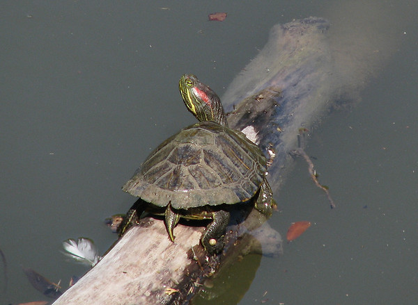 A red-eared slider (Trachemys scripta elegans) keeping an eye on me as it suns itself atop a fallen tree (20080419_03967)