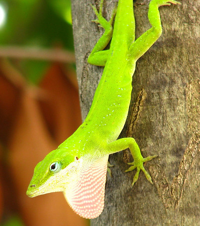 A male green anole (Anolis carolinensis) displaying his throat fan from a tree (20080526_05819)