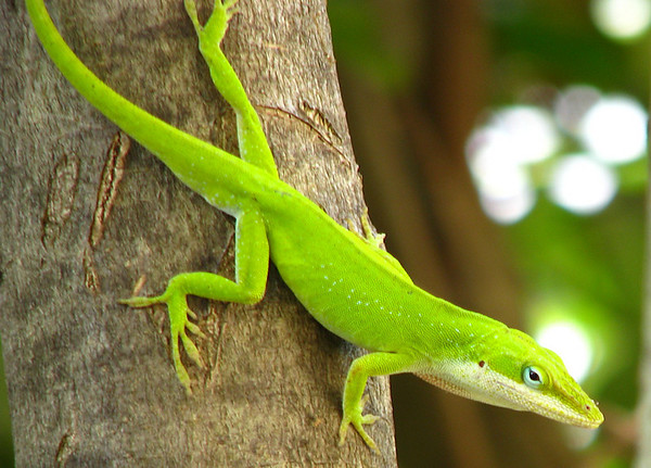 A male green anole (Anolis carolinensis) watching me from a tree (20080526_05824)