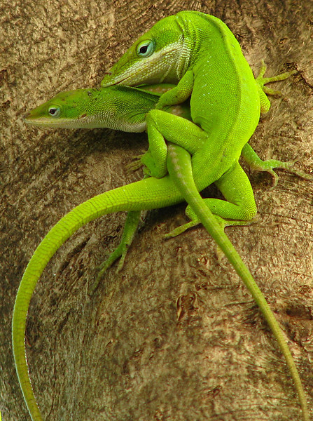 A mating pair of green anoles (Anolis carolinensis) in a tree (20080526_05854)
