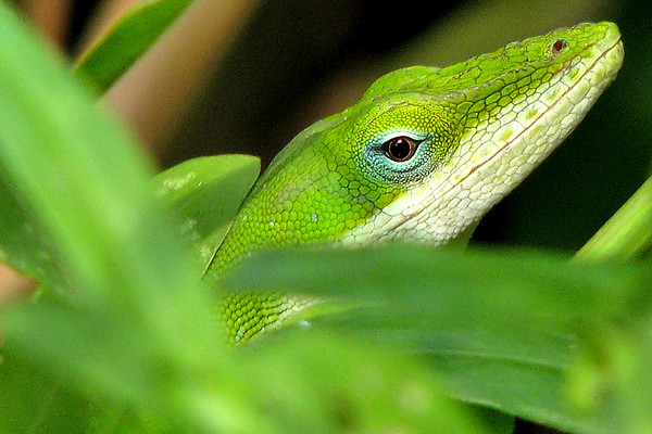 Close-up of a green anole (a.k.a. Carolina anole; Anolis carolinensis) (20080817_11010_c)