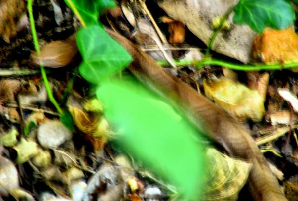 Blurry photo of a Southern copperhead (Agkistrodon contortrix contortrix) (20081004_13084)