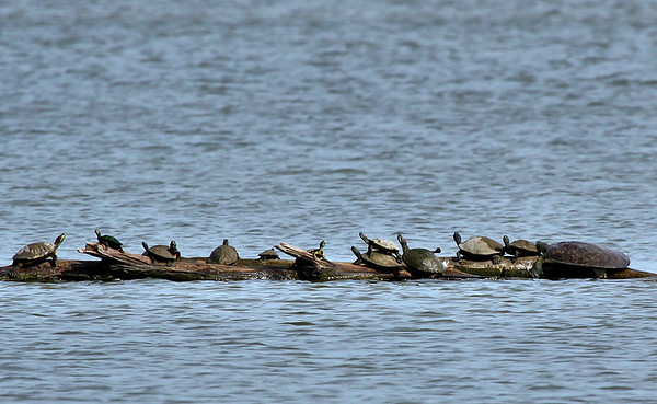 A pallid spiny softshell turtle (Apalone spinifera pallida) on the right end of the log with red-eared sliders (Trachemys scripta elegans) and river cooters (Pseudemys sp. or spp.) (2009_06_06_022407)