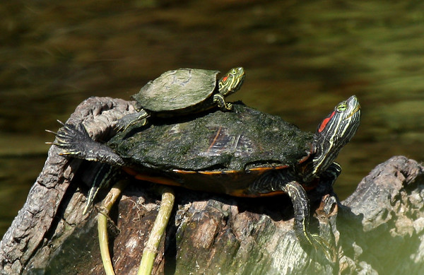 A baby red-eared slider (Trachemys scripta elegans) sunning atop an adult (2009_06_21_024674)