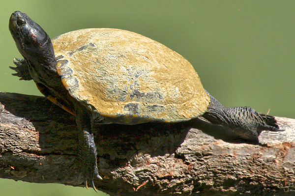 A melanistic male red-eared slider (Trachemys scripta elegans) sunning on a log (2009_07_25_027811)