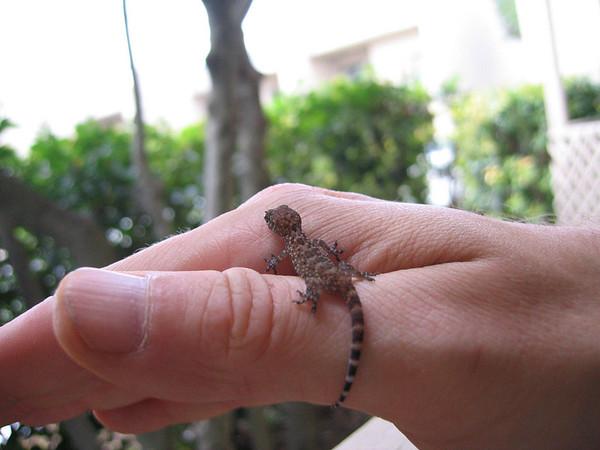 A very small Mediterranean gecko (a.k.a. house gecko; Hemidactylus turcicus) climbing over my hand