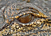 Alligator, Reflection of Photographer in Eye,<br /> Aransas National Wildlife Refuge, Texas