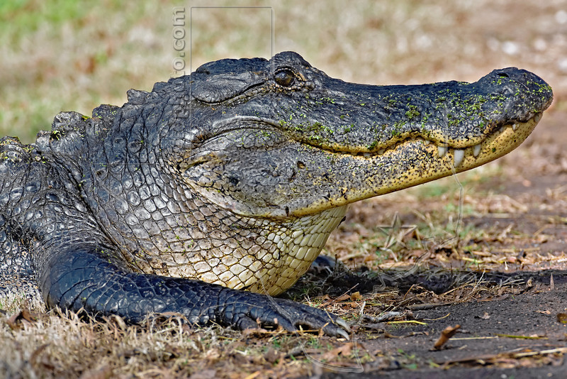 American Alligator,<br /> Brazos Bend State Park, Texas