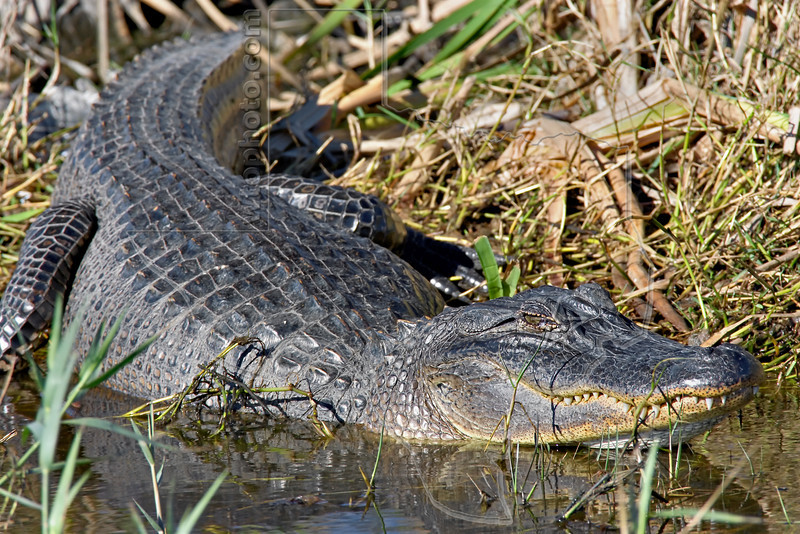 American Alligator, <br /> Anahuac National Wildlife Refuge, Texas
