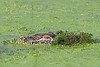 American Alligator, Stealth,<br /> Brazos Bend State Park, Texas