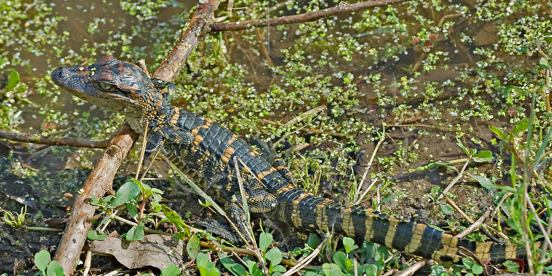 Baby American Alligator,<br /> Brazos Bend State Park, Texas