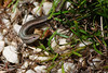 Garden skink, Warrnambool