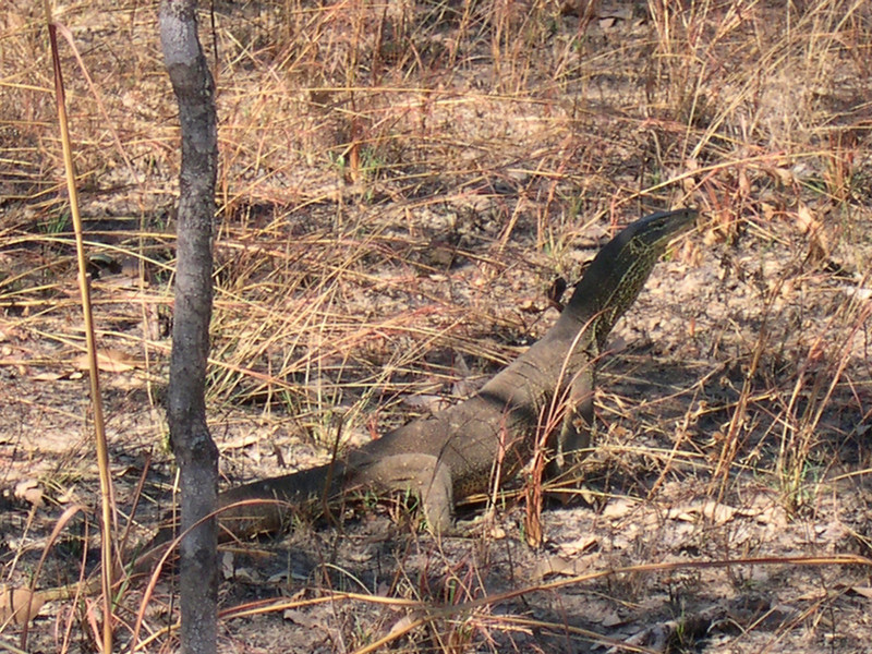 Goanna<br /> Terrible light and background