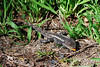 Jacky Dragon (amphibolurus muricatus) - Spotted in Braeside Park, August 2010