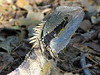Eastern Water Dragon close-up<br /> Spotted on the path to Norrie Head at Cabarita Beach, NSW