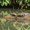 American Crocodile (youngster)