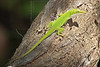 Green Anole Lizard, Male (Anolis carolinensis),<br /> Lafitte's Cove, Galveston, TX