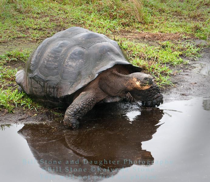 Wild Galapagos Tortoise at pond-Isla Santa Cruz-Galapagos
