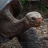 Captive Galapagos Tortoise-Darwin Research Station-Galapagos 2